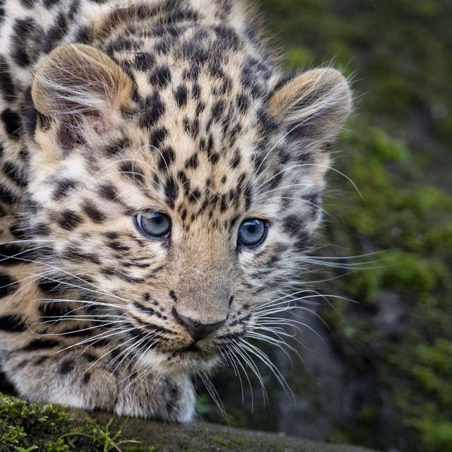 """""""Male Amur leopard cub"""" stock image"""