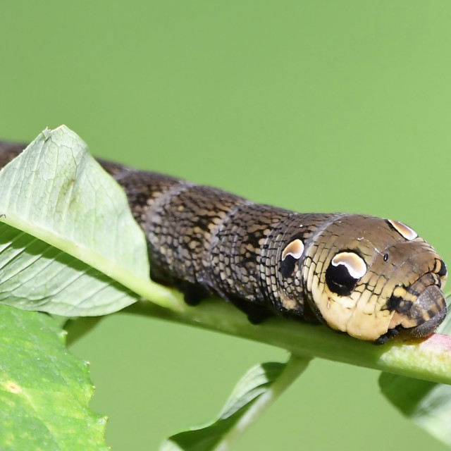 """Elephant Hawk Moth Caterpillar"" stock image"
