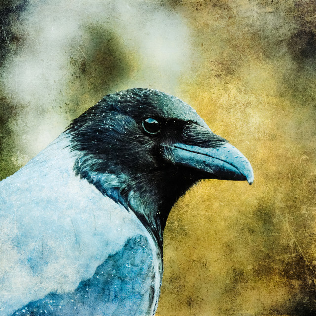 """""""Watchful Crow"""" stock image"""