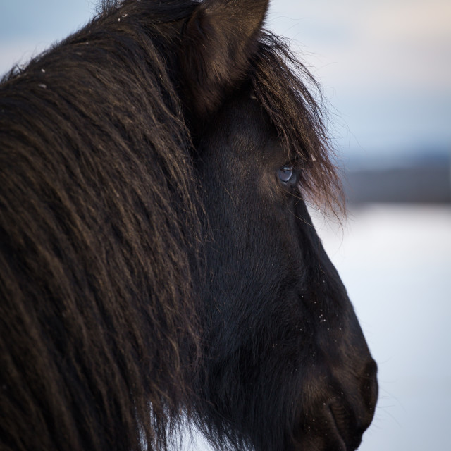 """Portrait Friesian horse"" stock image"