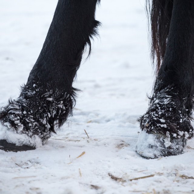 """Friesian horses hooves in winter"" stock image"