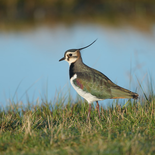 """The northern lapwing"" stock image"