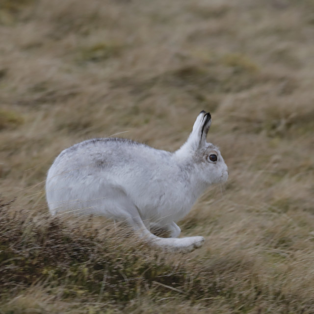 """""""A mountain hare running"""" stock image"""
