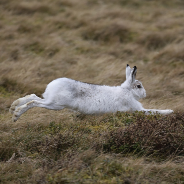 """A mountain hare in full flight"" stock image"