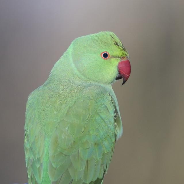 """""""The rose-ringed parakeet"""" stock image"""
