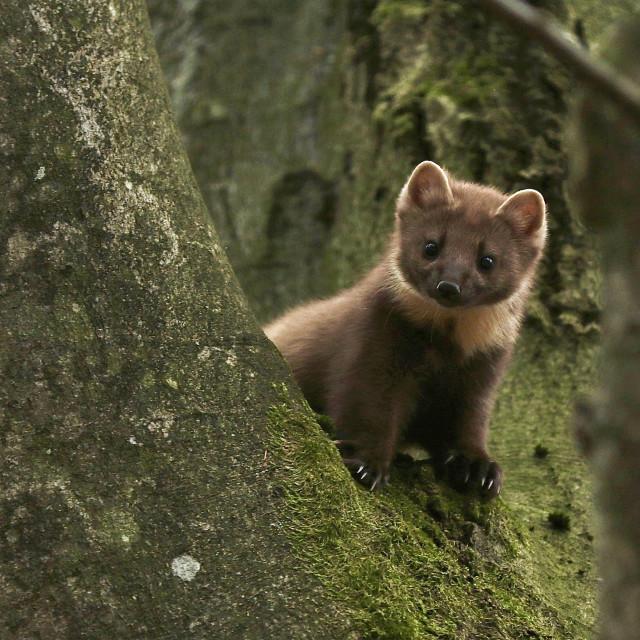 """""""Adorable Pine Marten encounter"""" stock image"""