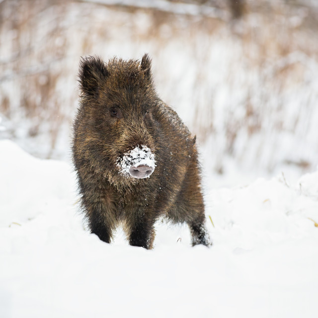 """Young wild boar piglet with snow on snout looking curiously in wintertime."" stock image"