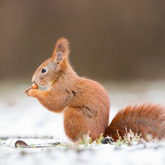 """""""Red squirrel, sciurus vulgaris, on gripping a nut on snow"""" stock image"""