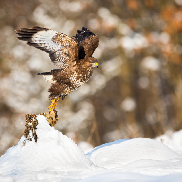 """""""Buzzard taking of from a tree stump covered with snow in winter nature"""" stock image"""
