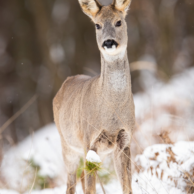"""Attentive roe deer doe standing on a clearing in woodland on snow during winter"" stock image"