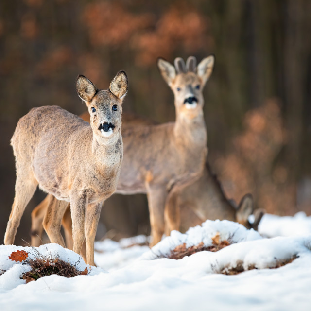 """Roe deer doe and buck looking at camera in wintertime"" stock image"