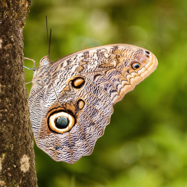 """Owl Butterfly (Caligo memnon), taken in Costa Rica"" stock image"