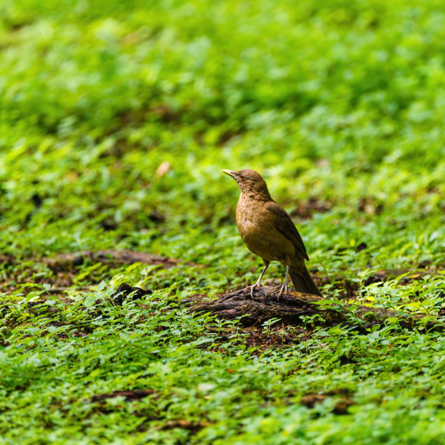 """Clay-colored Thrush (Turdus grayi) on the ground, taken in Costa Rica"" stock image"