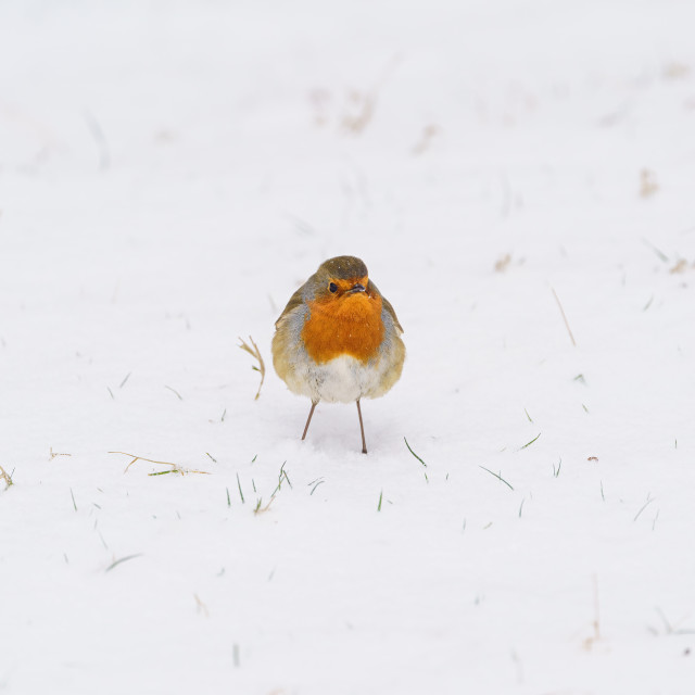"""European Robin (Erithacus rubecula) in snow, taken in England"" stock image"