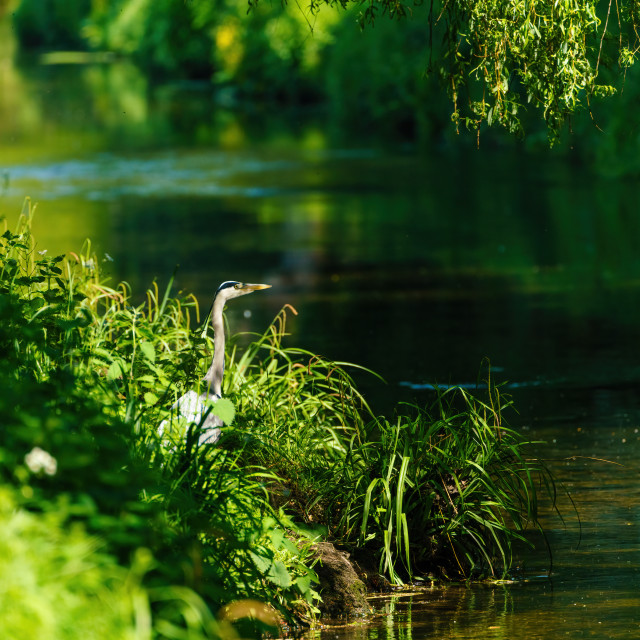 """Grey Heron (Ardea cinerea) standing on banks of a small river, taken in UK"" stock image"