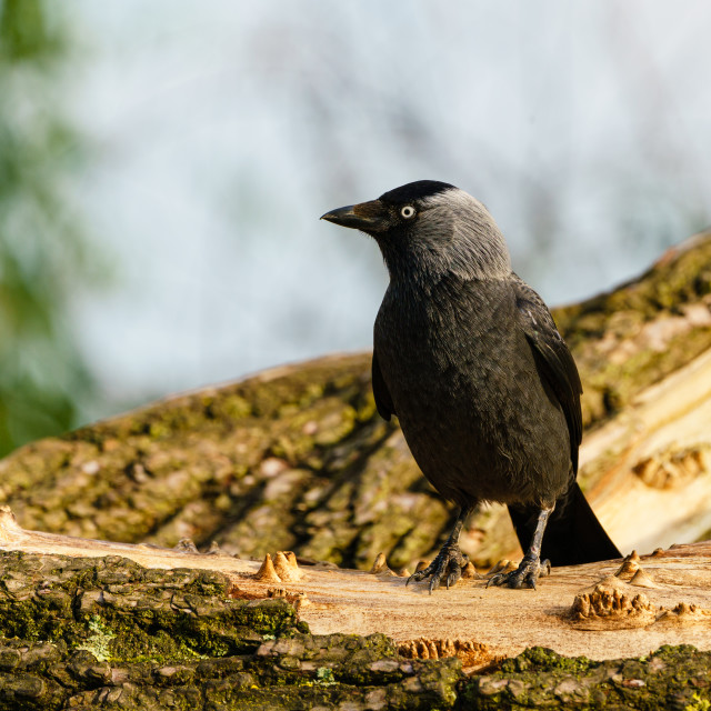 """Jackdaw (Corvus monedula) perched on branch , taken in the UK"" stock image"