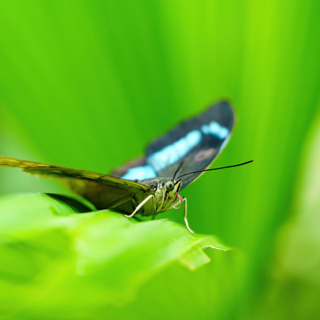 """Blue admiral (Kaniska canace) butterfly perched on a plant leaf."" stock image"