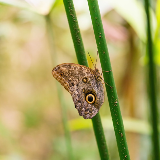 """Owl Butterfly (Caligo memnon), taken in Costa Rica"" stock image"