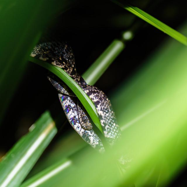 """Cloudy Snail-Eating Snake (Sibon nebulatus) in Costa Rica"" stock image"
