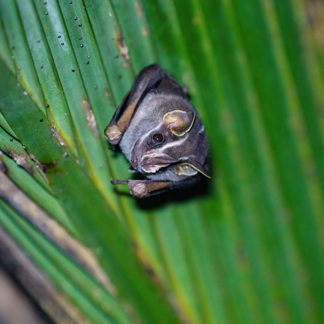 """Tent-making Bat (Uroderma bilobatum) roosting in a palm frond, taken in Costa..."" stock image"