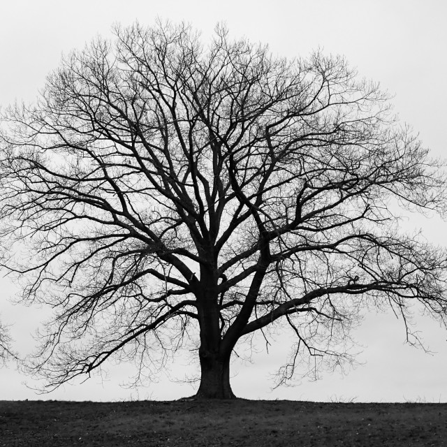 """Silhouette of large tree in monochrome with grey winter skies"" stock image"