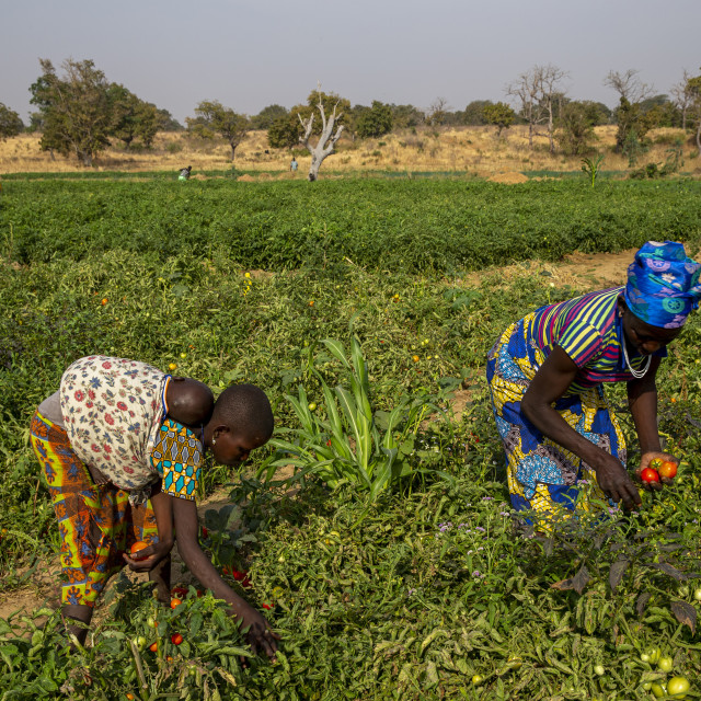 """""""Girl and woman picking tomatoes in Namong, Togo."""" stock image"""
