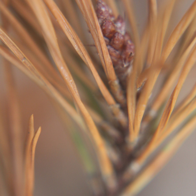 """pine needles and cone"" stock image"