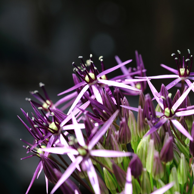 """Allium magic"" stock image"