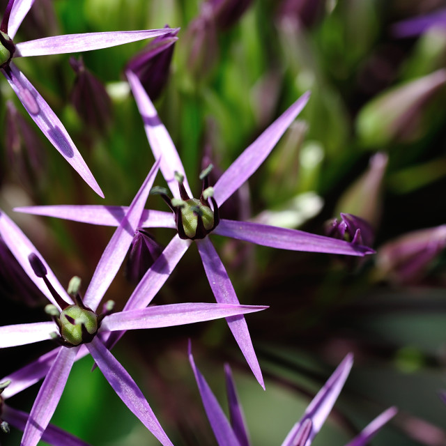"""Allium flower macro"" stock image"