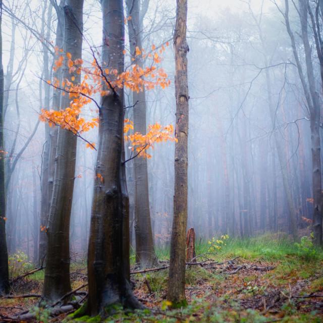 """Misty woods"" stock image"