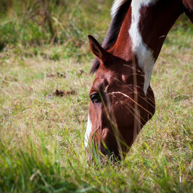 """Horse grazing"" stock image"