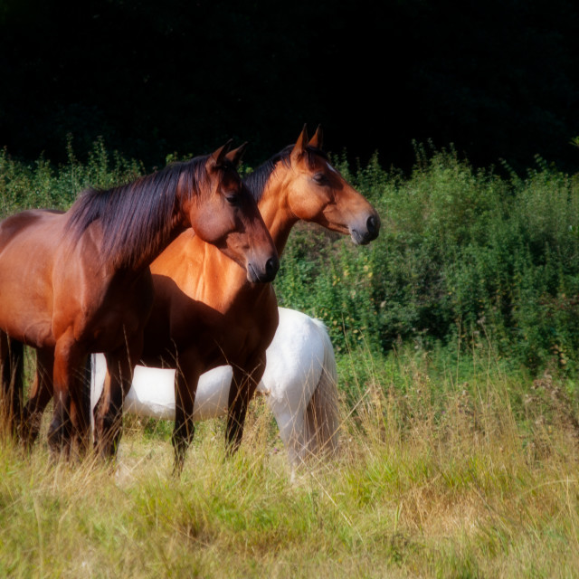 """Two bay horses"" stock image"