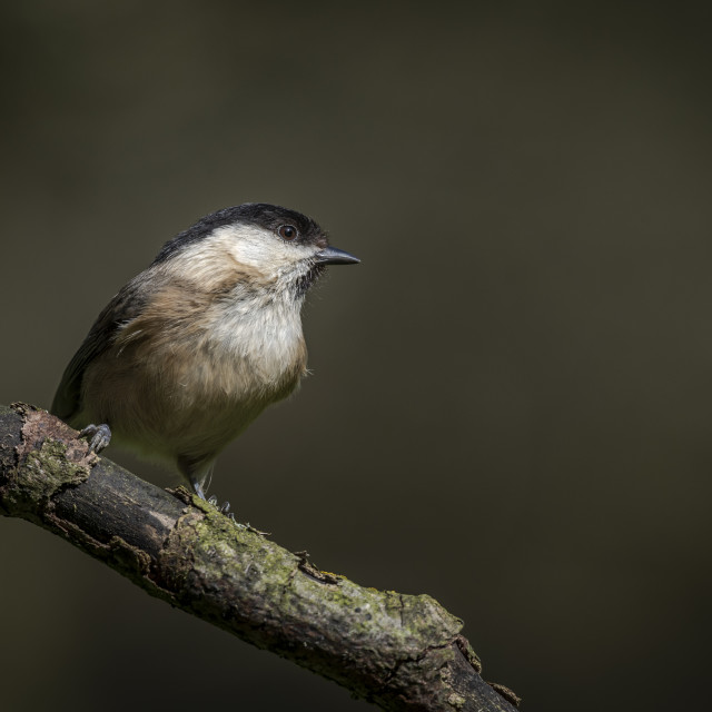 """Willow tit"" stock image"