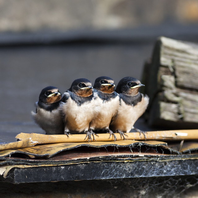 """Cute Swallow Fledglings, UK"" stock image"