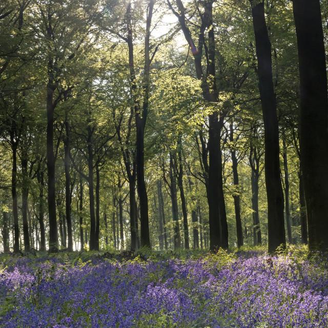 """""""Bluebell Woodland, UK"""" stock image"""