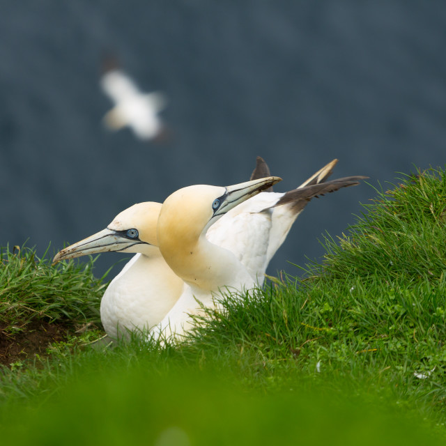 """Northern gannets on the Mykineshólmur island, Faroe Islands"" stock image"