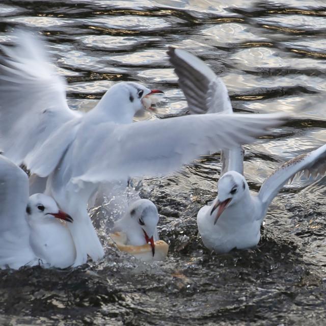"""Gull Squabble"" stock image"