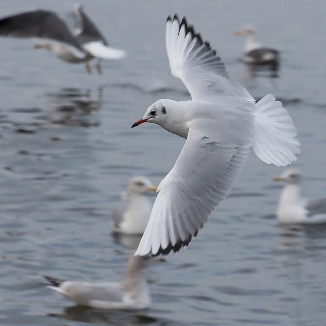 """""""Multiple Gulls"""" stock image"""