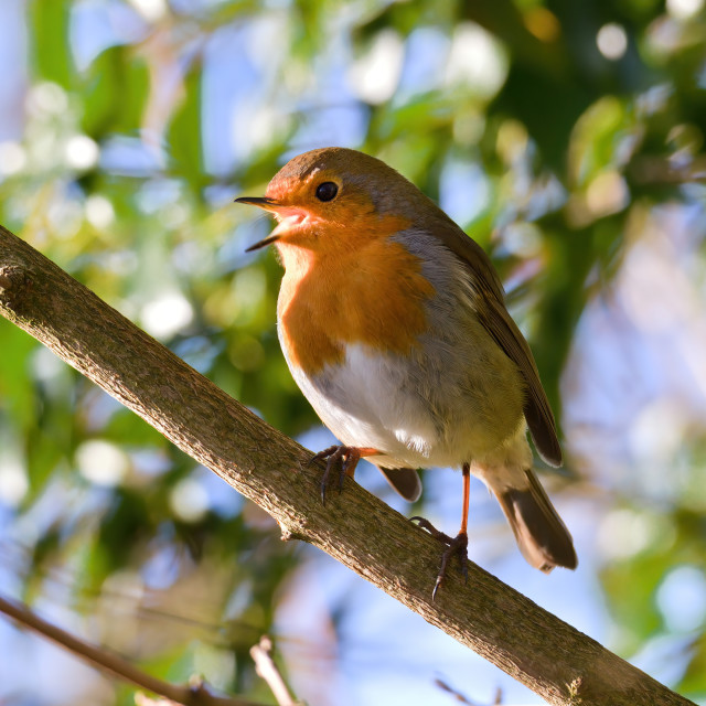 """Robin singing in the trees"" stock image"