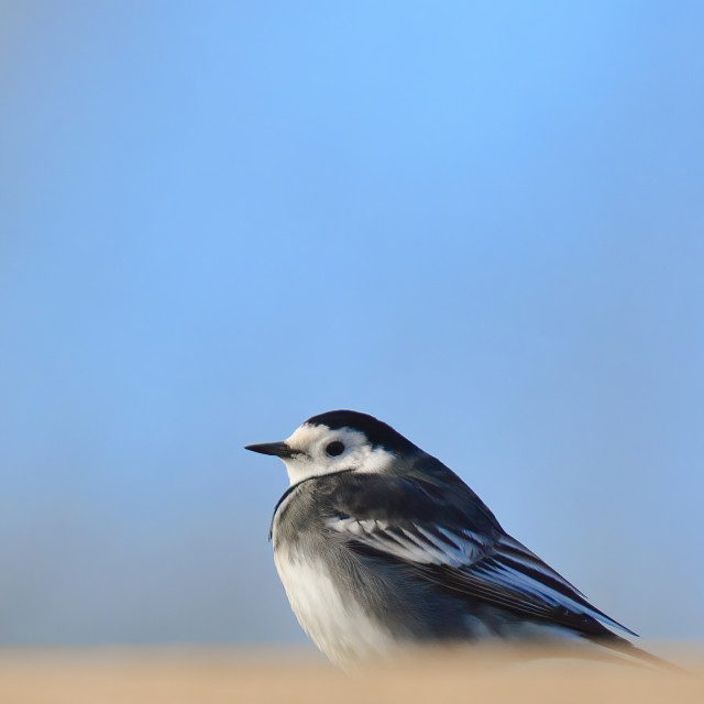 """""""Wagtail"""" stock image"""