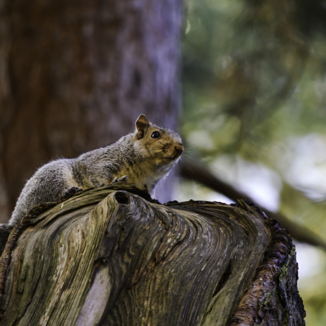 """Squirrel on a stump"" stock image"