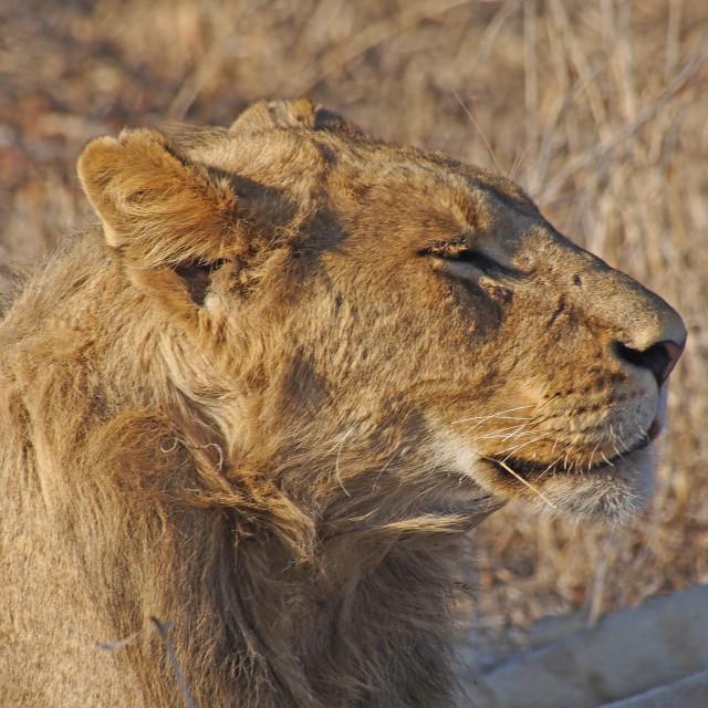 """Lion"" stock image"