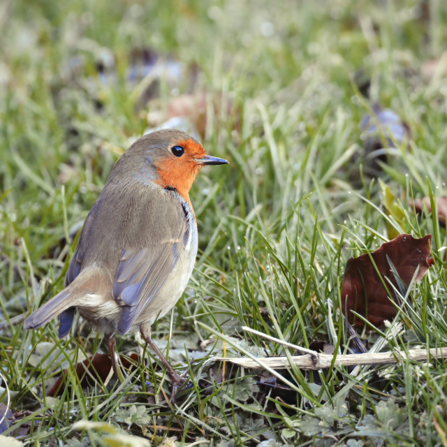 """Robin on the ground"" stock image"