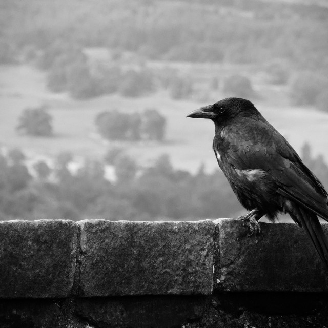 """Raven atop Stirling Castle"" stock image"