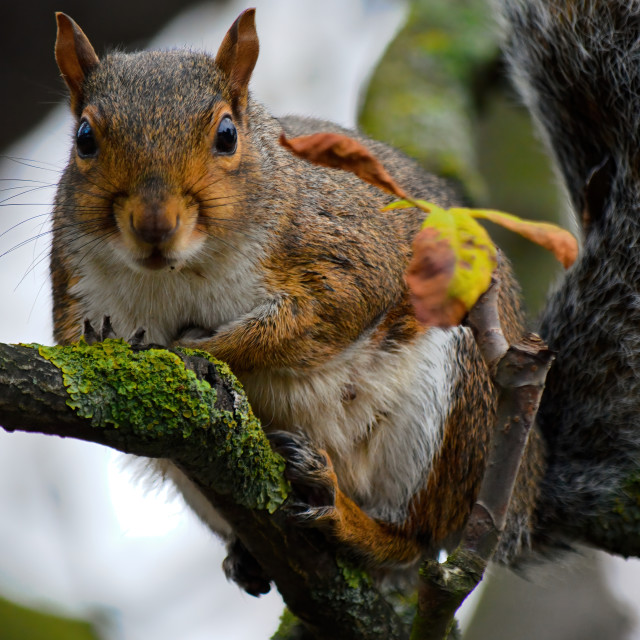 """Squirrel on a branch"" stock image"