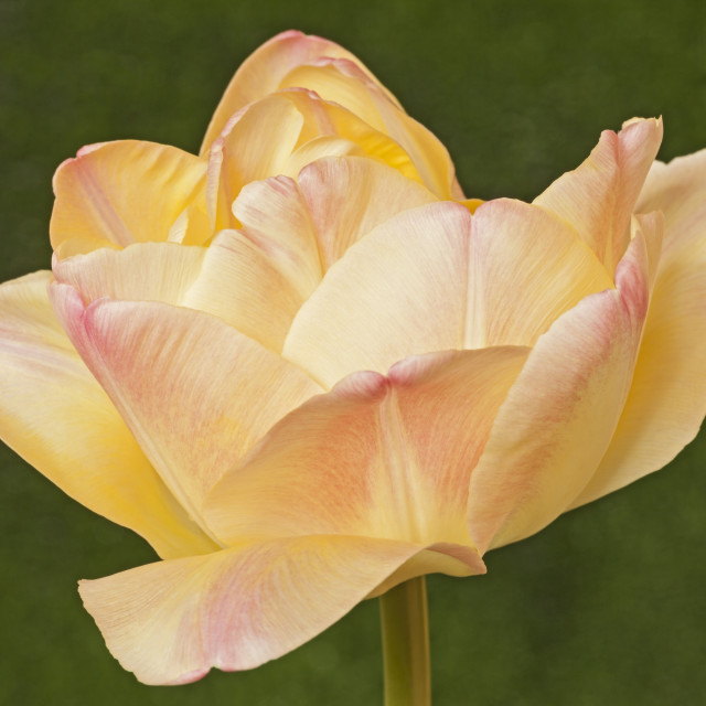 """Tulipa ""Creme Upstar"", Double colour changing Tulip"" stock image"