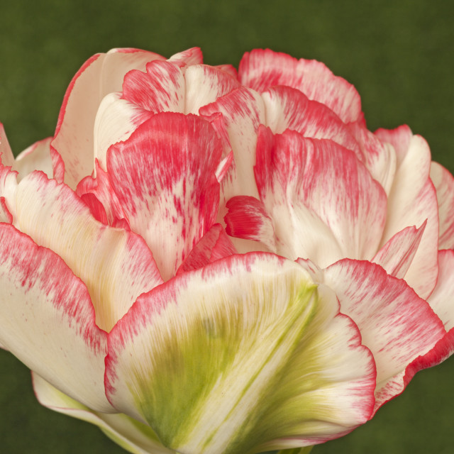 """Tulipa ""Cartouche"", Double colour changing Tulip"" stock image"