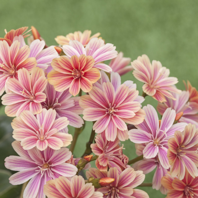"""Lewisia ""Mountain Dreams"""" stock image"