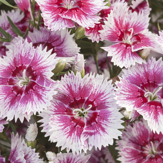 """Carnation ""White Flame"", Dianthus"" stock image"