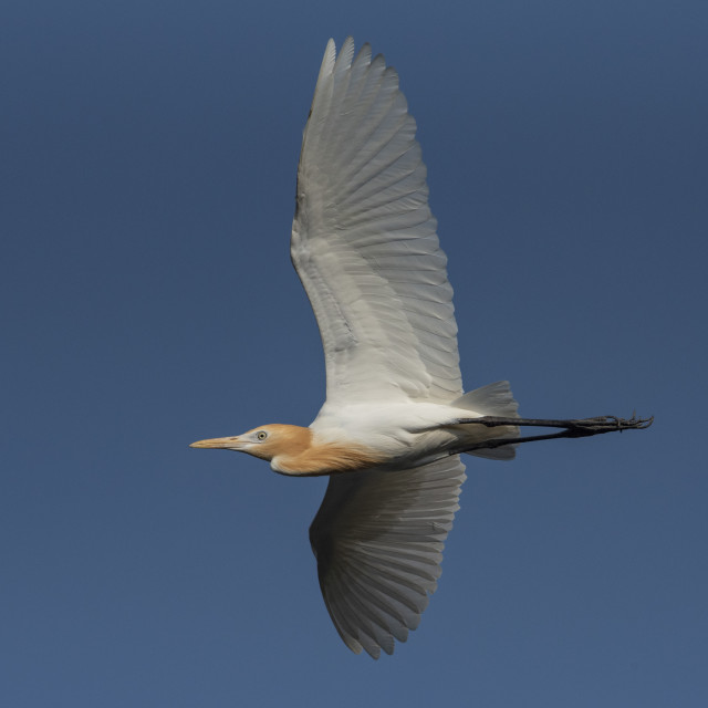 """Flight of the Cattle Egret"" stock image"